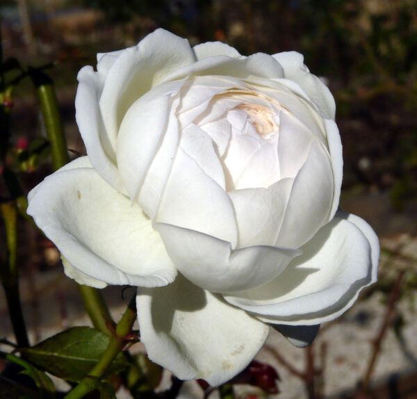Rosa 'Soeur Emmanuelle ®'