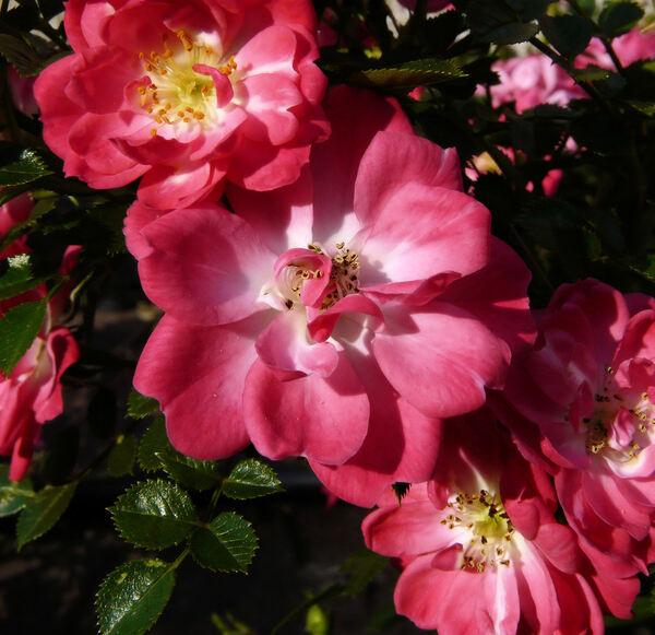 Rosa 'Soft Cover ®'