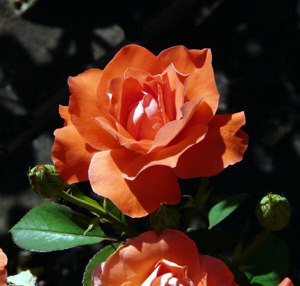 Rosa 'Laura 81'