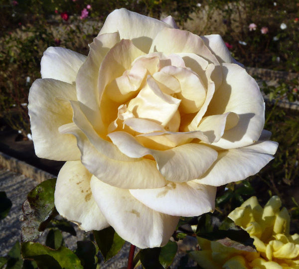 Rosa 'Champagne'