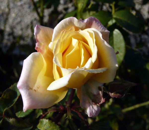 Rosa 'Dionisia ®'