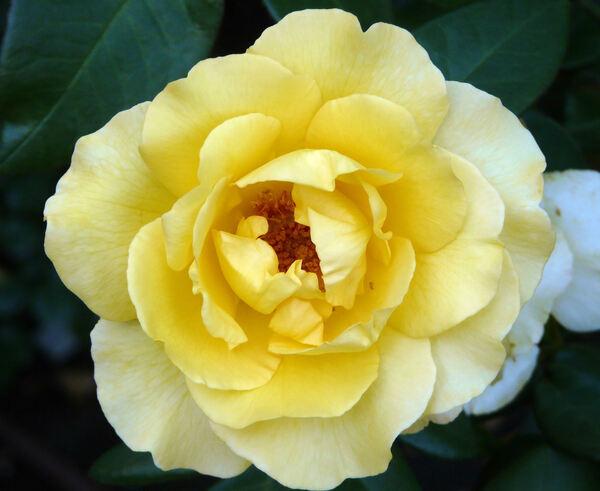 Rosa 'Keep Smiling'