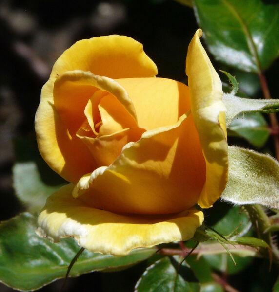 Rosa 'Kupferkönigin ™'