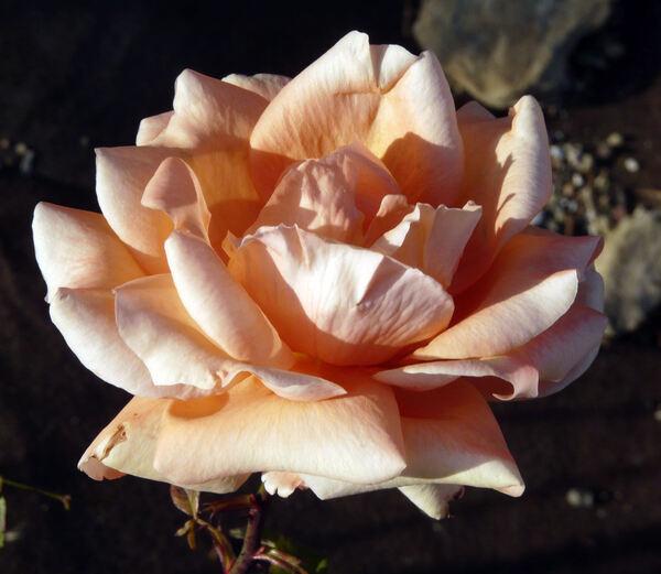 Rosa 'Good Life'