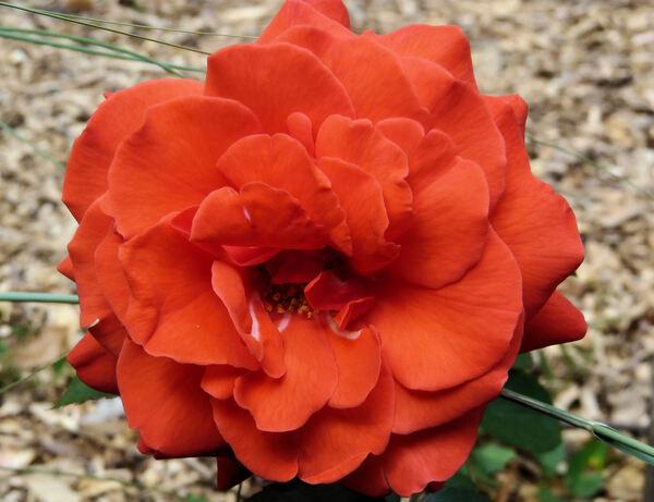 Rosa 'Smarty ®'