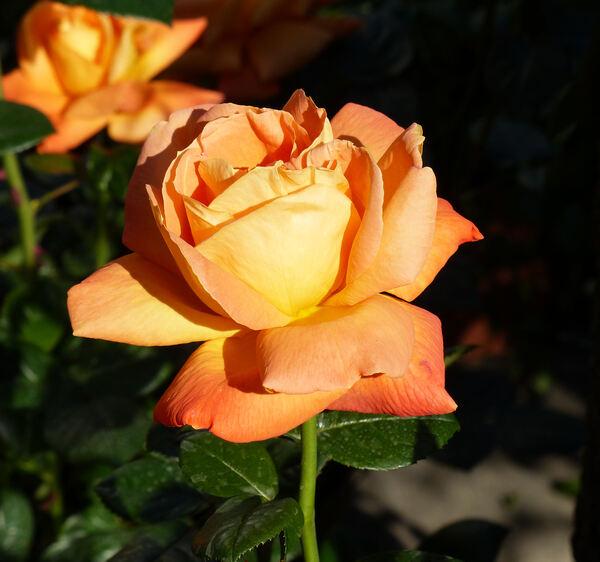 Rosa 'Louis de Funès ®'