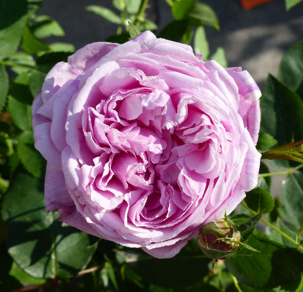 Rosa 'Vick's Caprice'