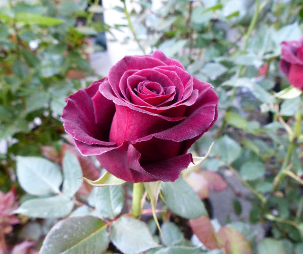 Rosa 'Black Baccara ™'