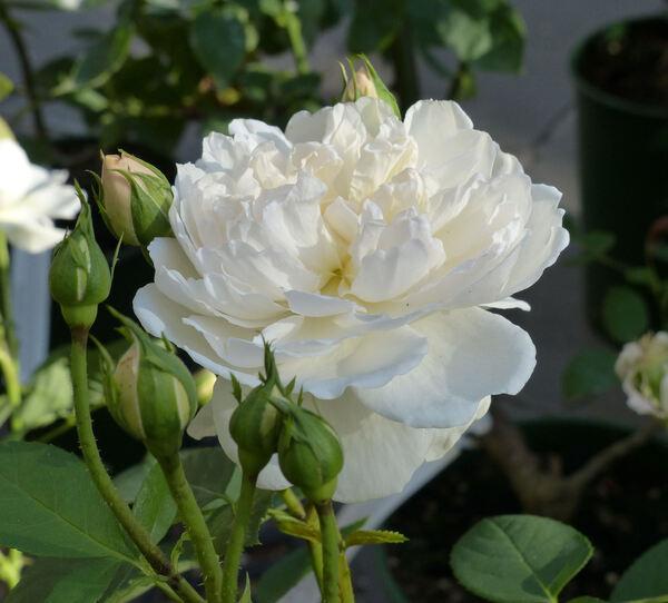Rosa 'Glamis Castle'