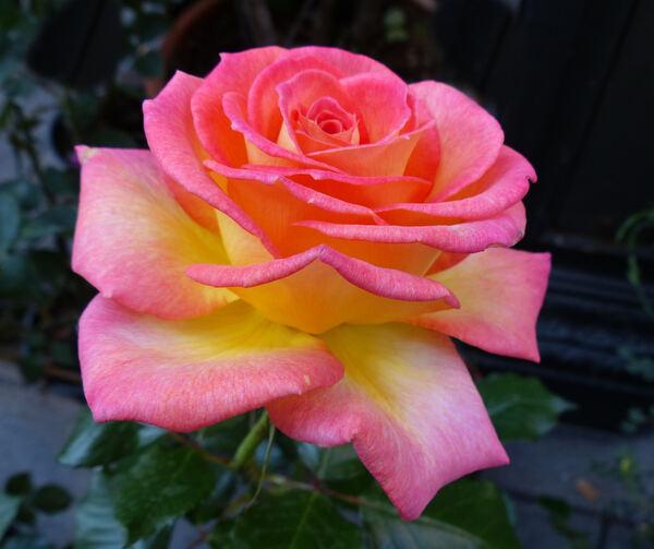 Rosa 'Twocolours'