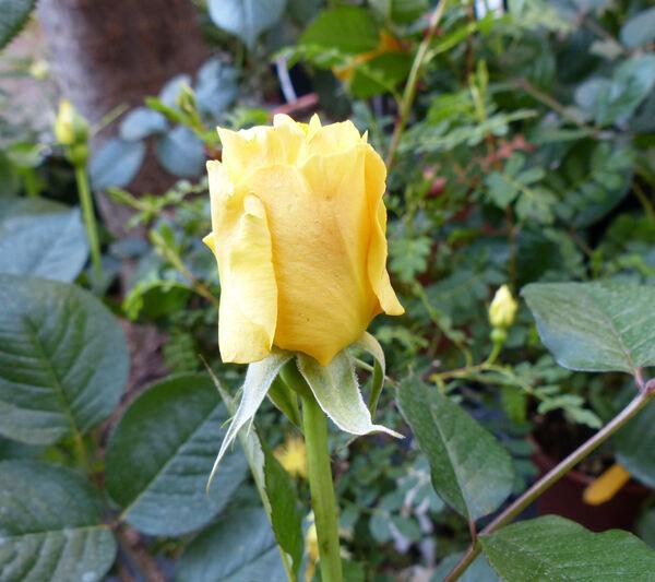 Rosa 'Cappuccino ®'