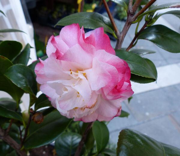 Camellia japonica L. 'Nuccio's Jewel'