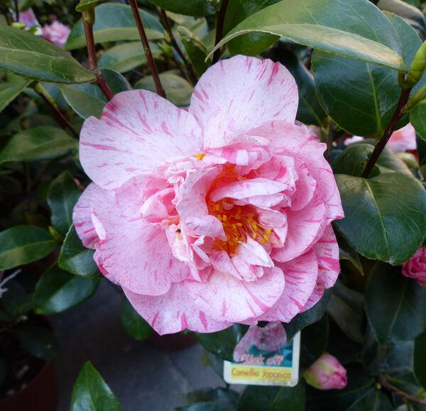 Camellia japonica L. 'Kick off'