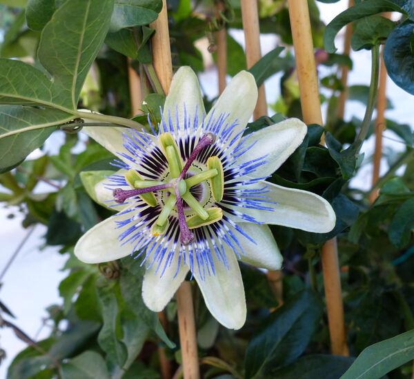 Passiflora 'Night Fever'