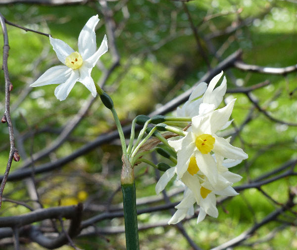 Narcissus tazetta L. subsp. italicus (Ker Gawl.) Baker