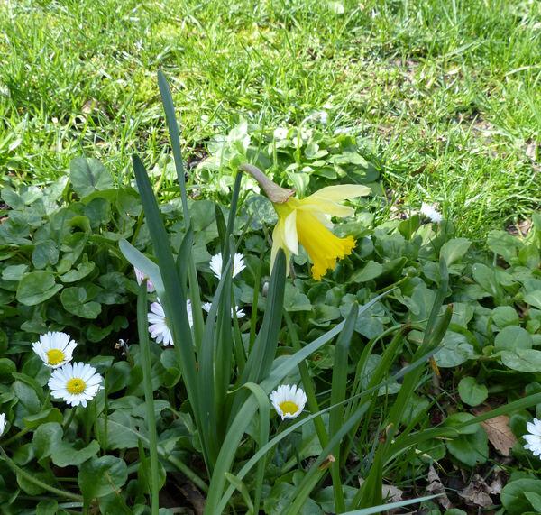 Narcissus pseudonarcissus L. 'Lobularis'