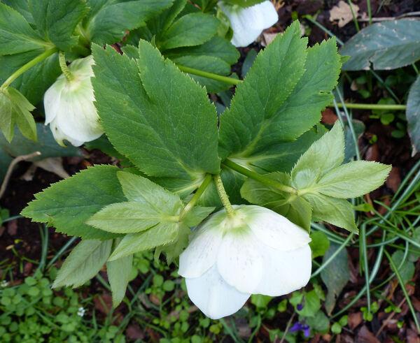 Helleborus orientalis Lam. 'Guttatus White'