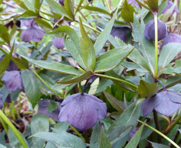 Helleborus orientalis Lam. 'Noir'