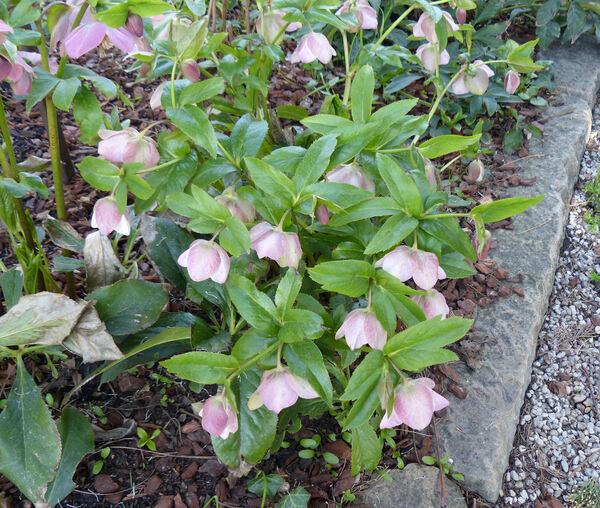 Helleborus orientalis Lam. 'Pink'