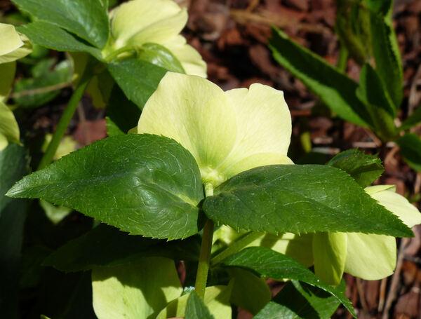 Helleborus orientalis Lam. 'Yellow Lady'