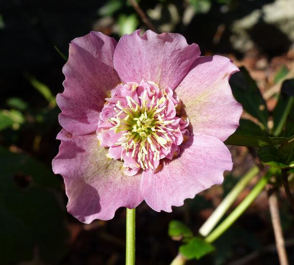 Helleborus orientalis Lam. 'Coeur d'Anémone Pink'