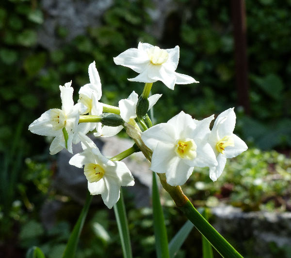 Narcissus papyraceus Ker-Gawl. subsp. panizzianus (Parl.) Arcang.