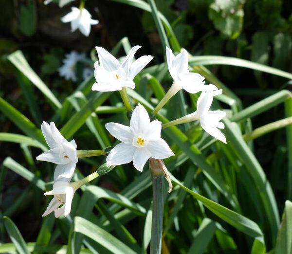 Narcissus papyraceus Ker-Gawl. subsp. pachybolbus (Durieu) D.A.Webb