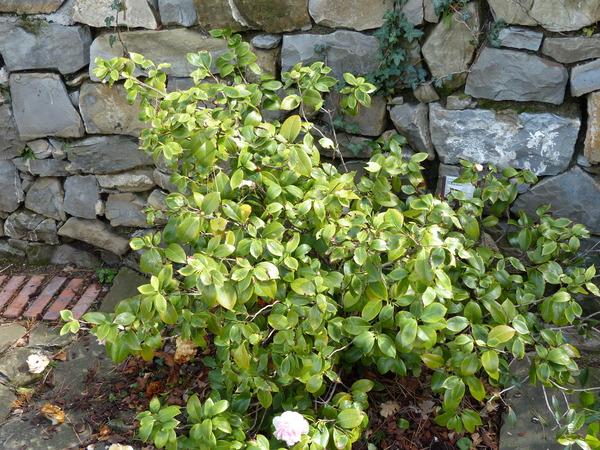 Camellia sasanqua Thunb. 'Hino de Gumo'