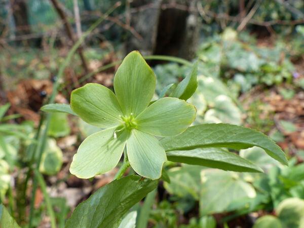 Helleborus multifidus Vis. subsp. hercegovinus (Martinis) B.Mathew