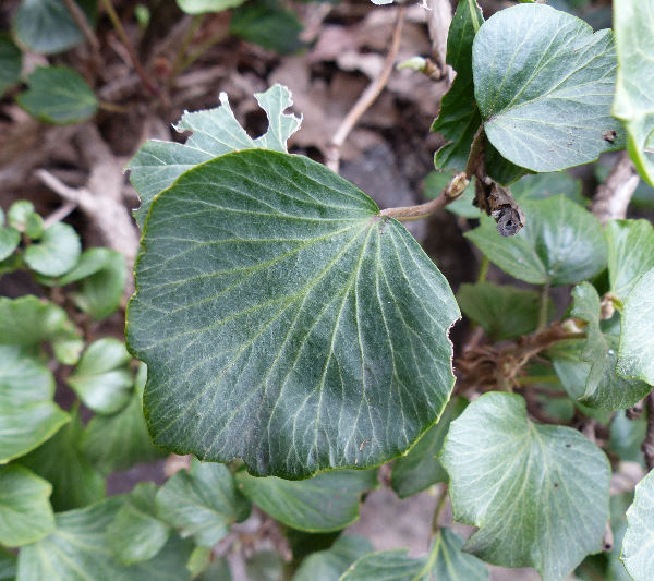 Hedera helix L. 'Cockle Shell'