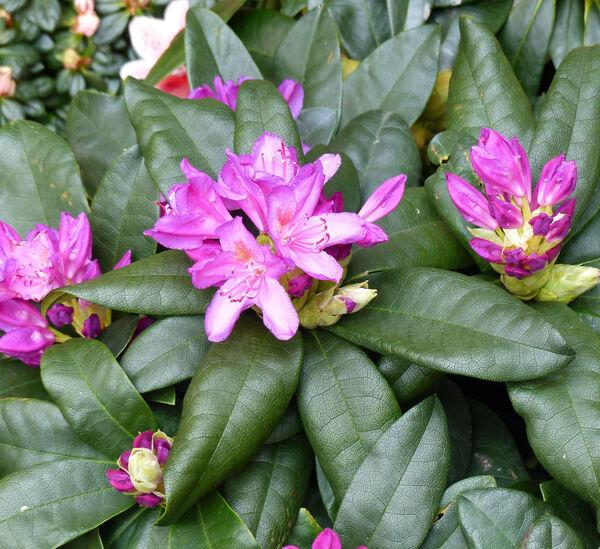 Rhododendron 'Delta'