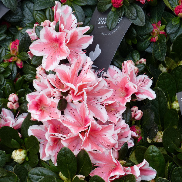 Rhododendron 'Mevr Gerard Kint'