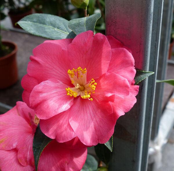 Camellia japonica L. 'Coral Delight'
