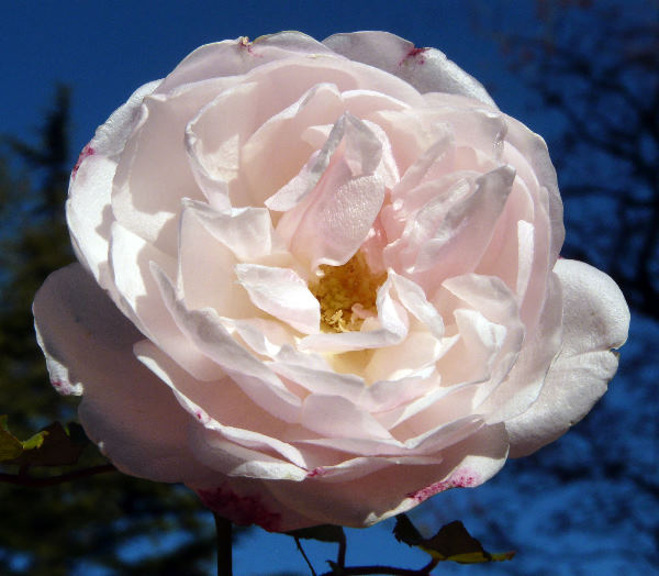 Rosa x odorata (Andrews) Sweet