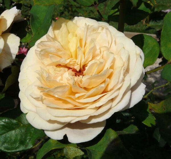 Rosa 'Roselandia'