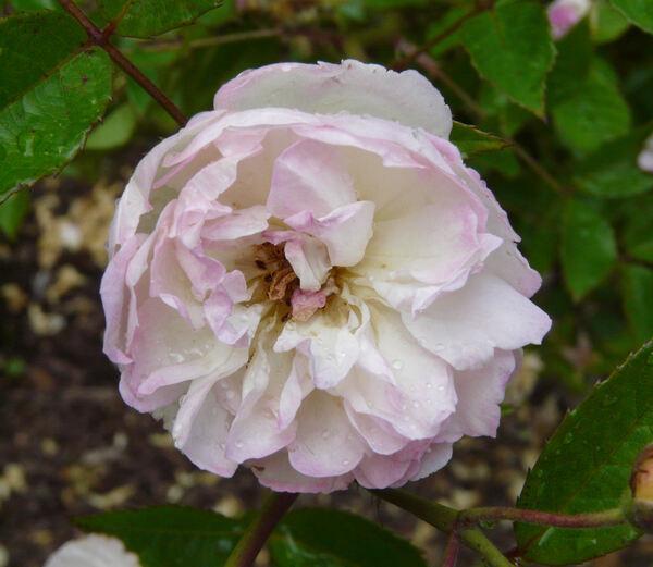 Rosa 'Hoffmann von Fallersleben'