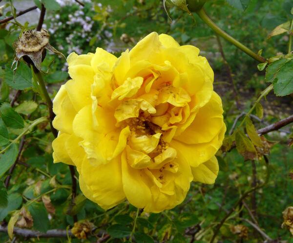 Rosa 'Persiana'