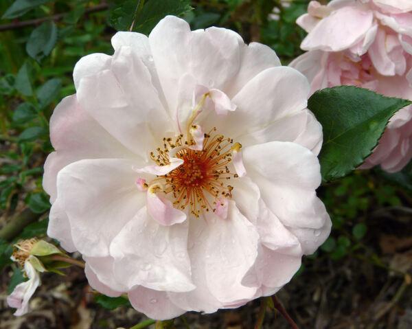 Rosa 'Auguste Gervais'