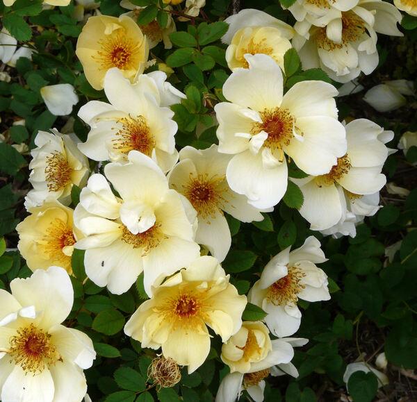 Rosa 'The Maidstone Rose'