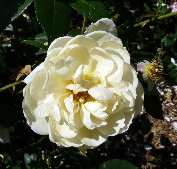 Rosa 'Yellow Romantica™'