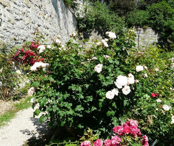 Rosa 'Eifelzauber ®'