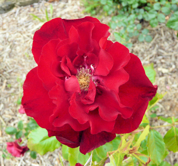 Rosa 'The Schofield Rose'