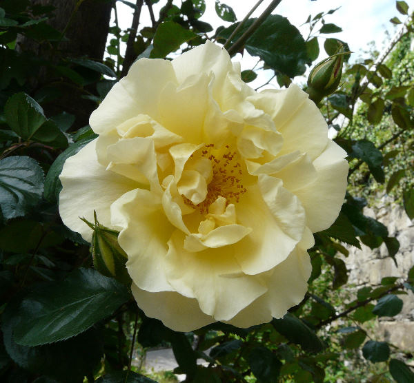 Rosa 'Easlea's Golden Rambler'