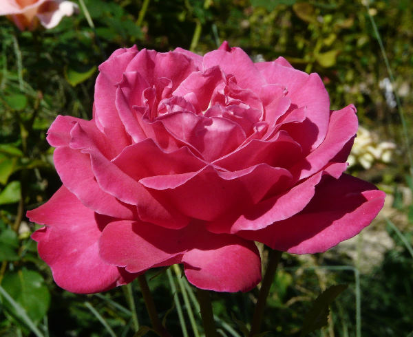 Rosa 'Caprice de Meilland ®'