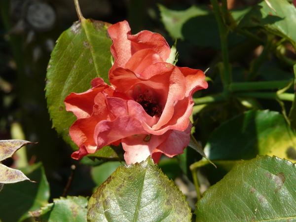 Rosa 'Amsterdam ®'