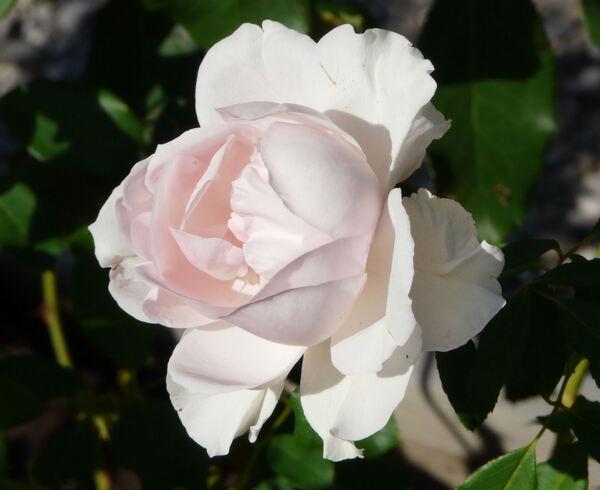 Rosa 'Penthouse'