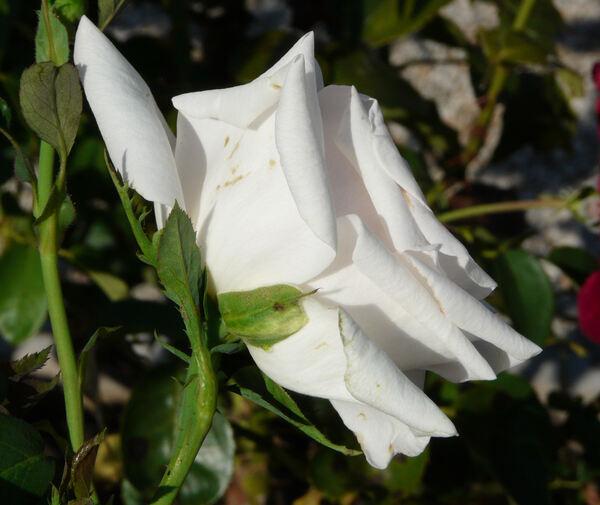 Rosa 'Fairy Tale Queen'