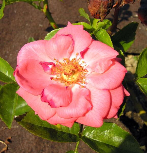 Rosa 'Precious Love ®'
