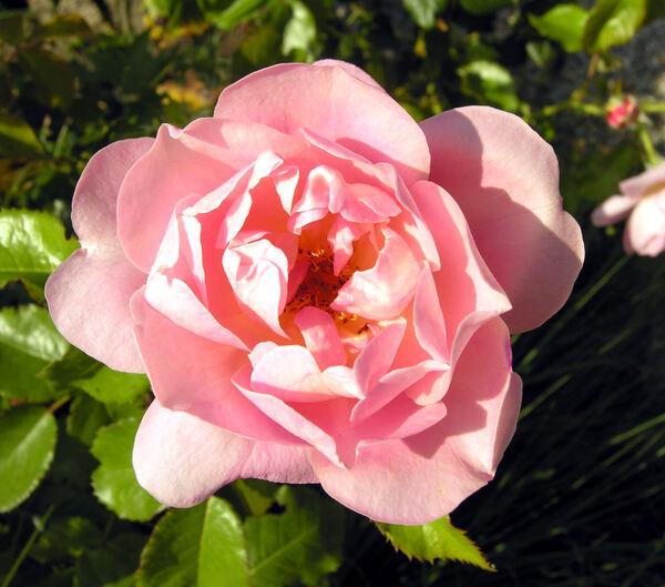 Rosa 'Mrs. George Dickson'