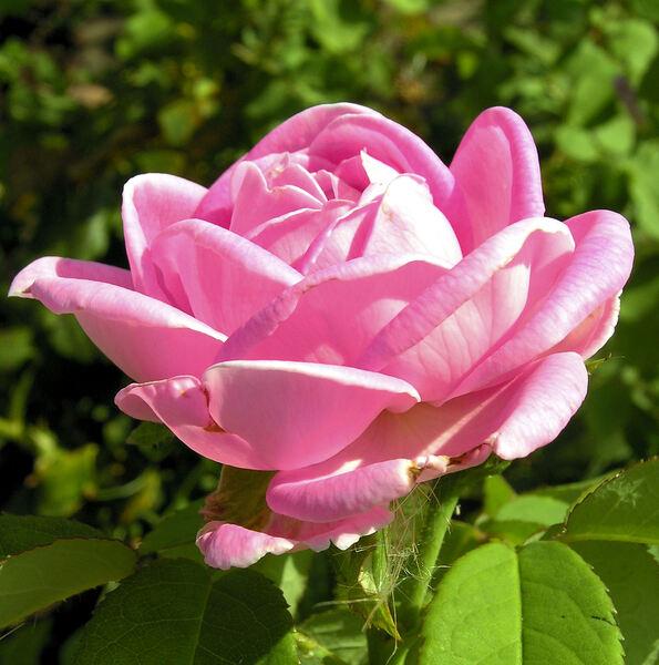 Rosa 'Madame Joseph Bonnaire'